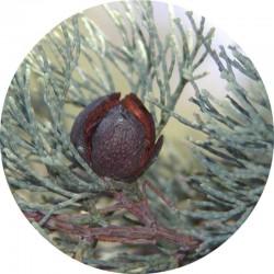Cypress Wood | Weißes Ätherisches Öl